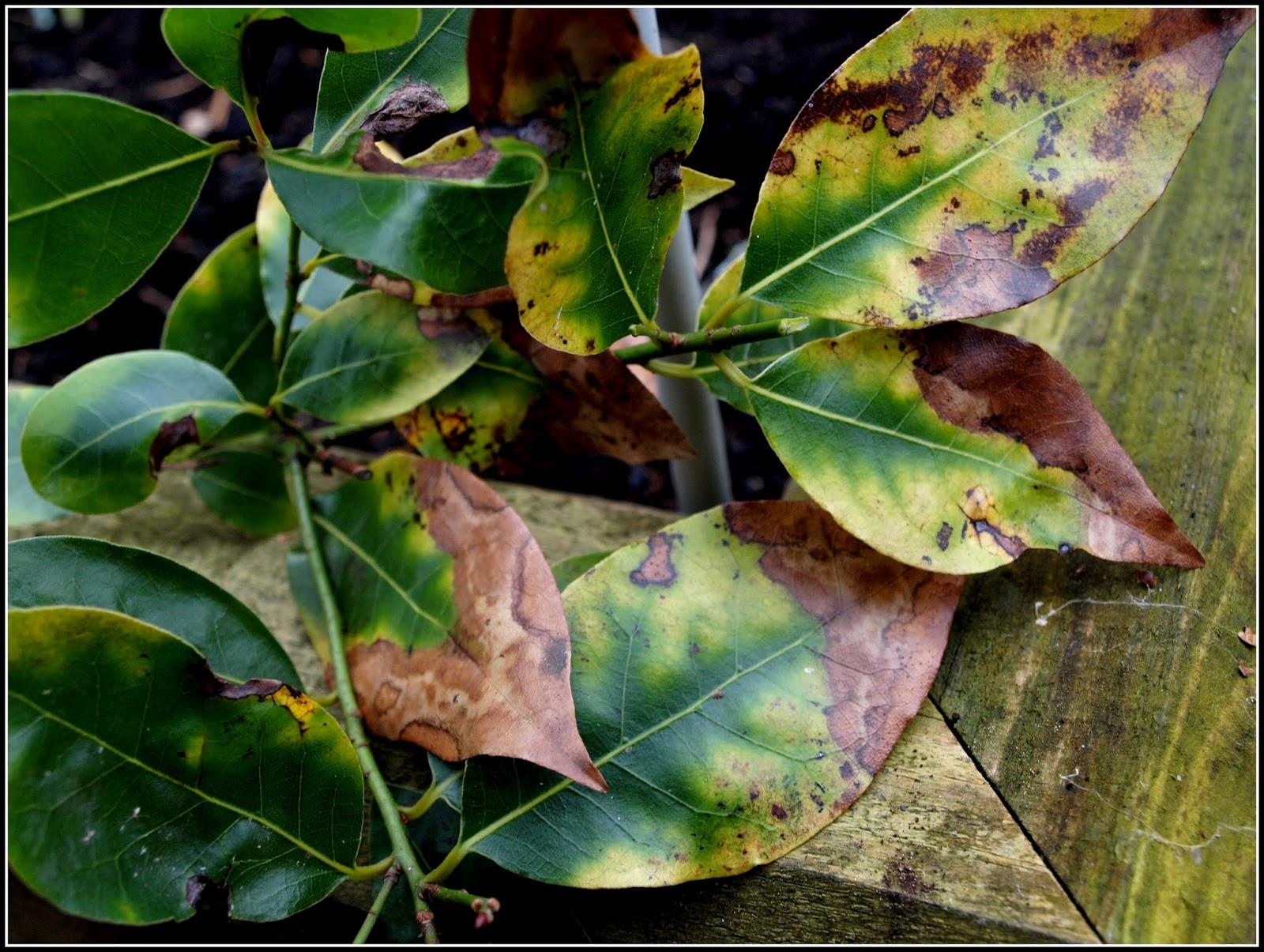 problemas mais frequentes encontrados em folhas : horta orgânica