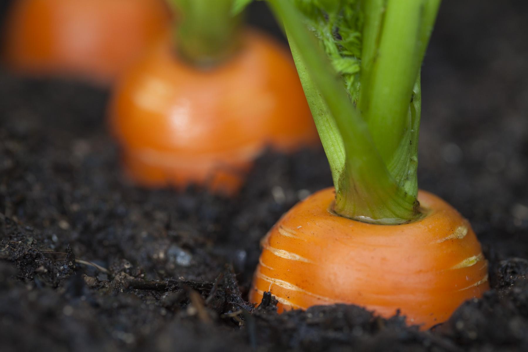 como plantar cenoura orgânica : como plantar cenoura