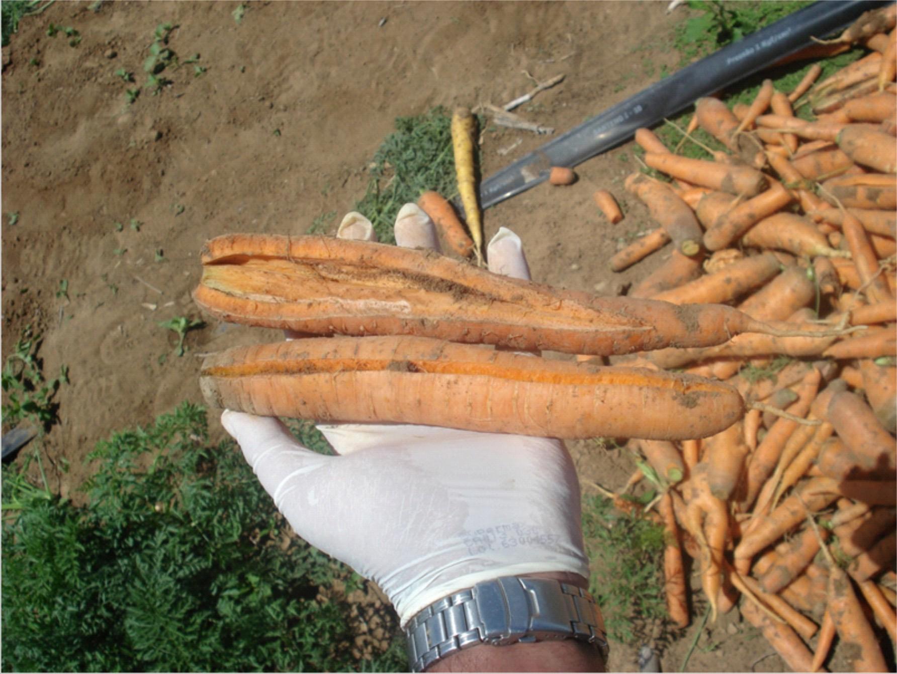 como plantar cenoura orgânica : como semear cenouras