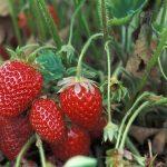 Tudo que Você Precisa Saber para Plantar Morango Orgânico