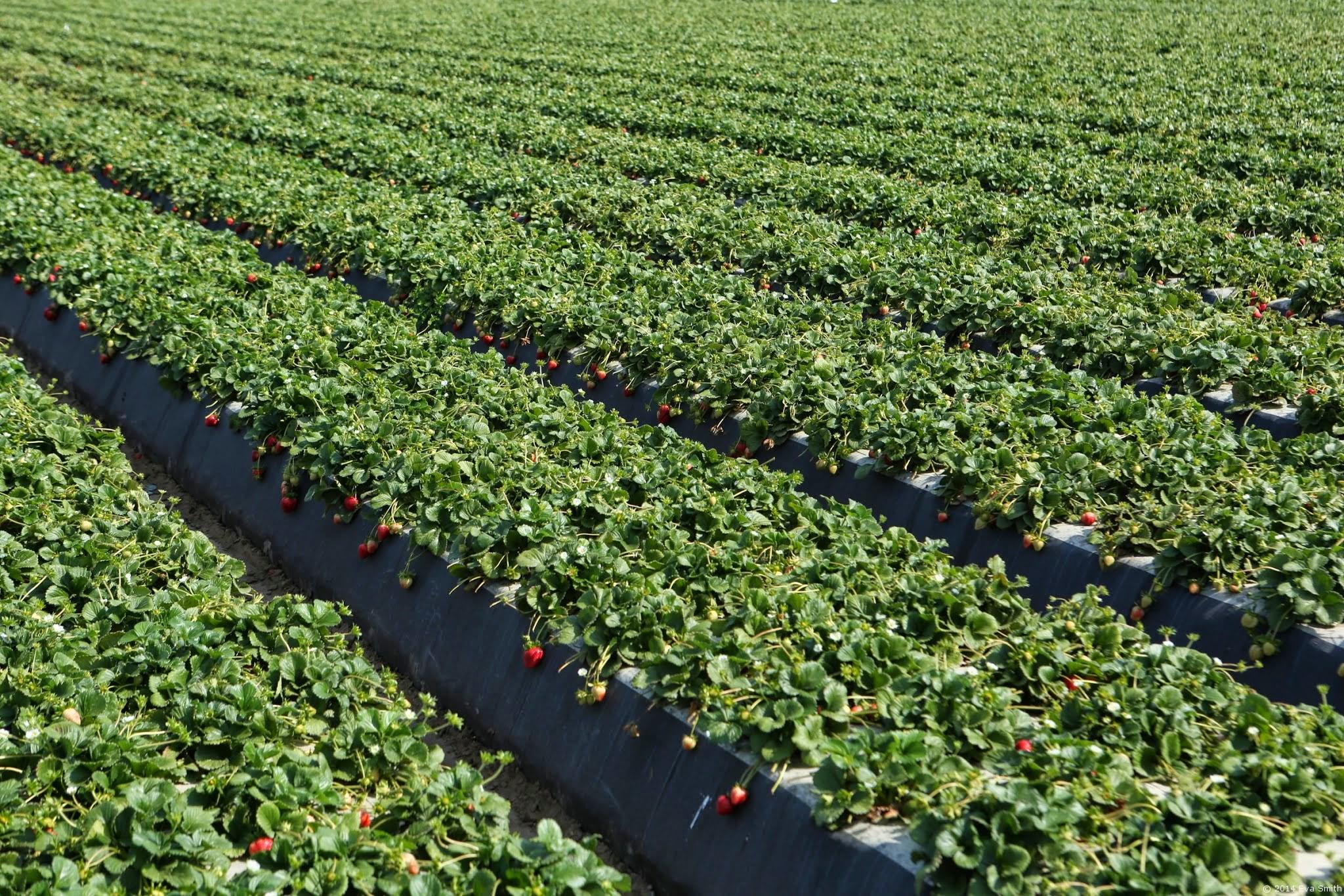 como plantar morango orgânico : plantação de morango