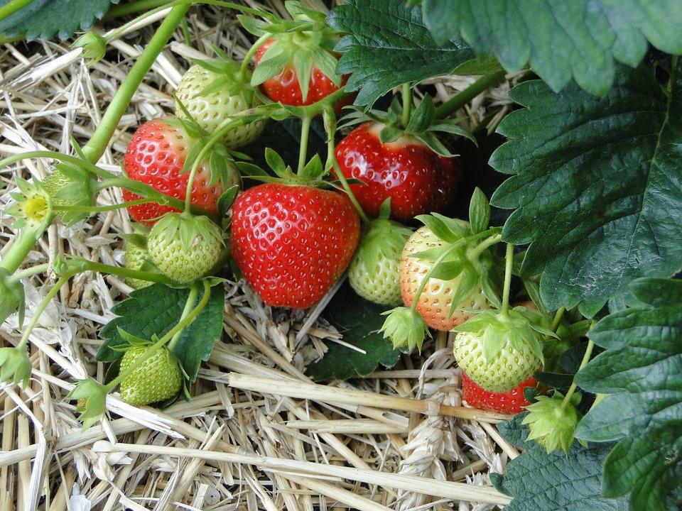 como plantar morango orgânico : plantar morango
