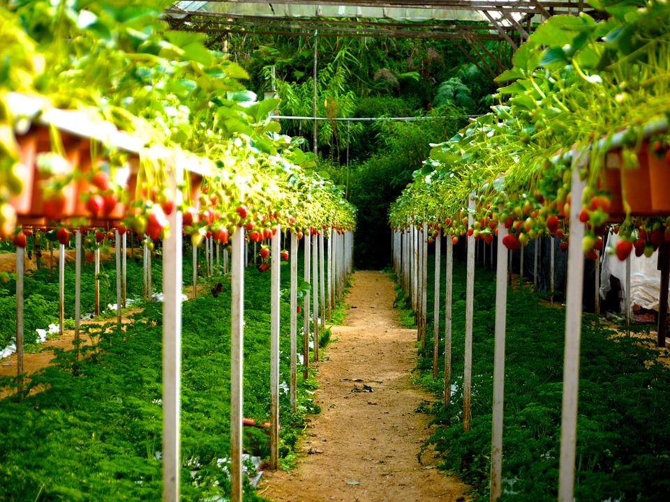 como plantar morango orgânico : plantio de morango