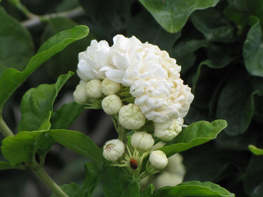 como plantar jasmim : flor de jasmim