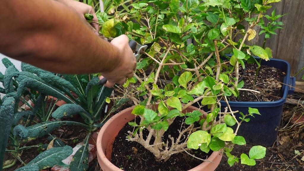 como plantar jasmim : jasmim em vaso