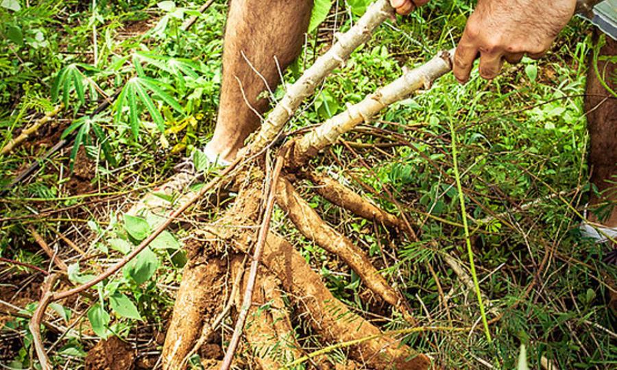 como plantar mandioca orgânica : pé de mandioca
