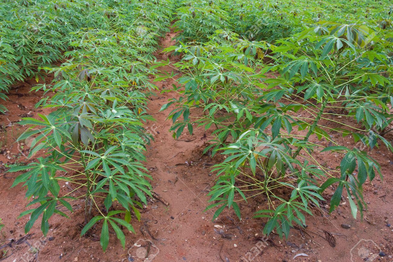 como plantar mandioca orgânica : plantação de mandioca
