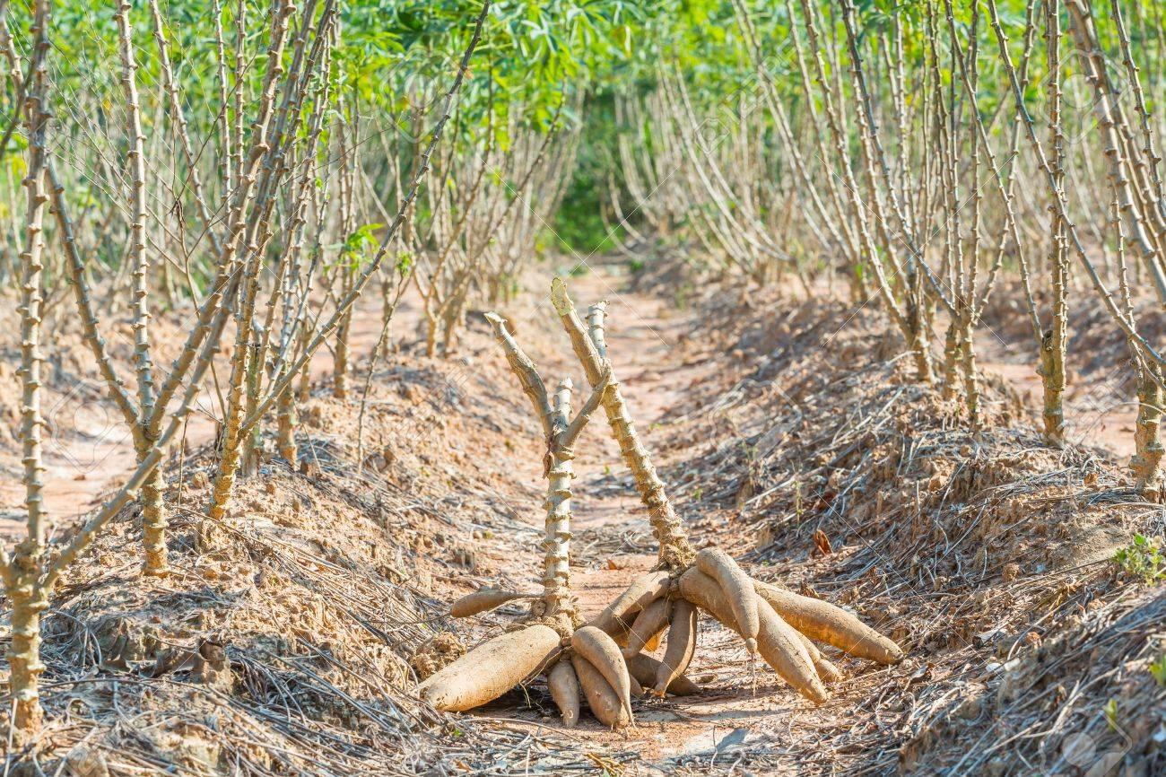 como plantar mandioca orgânica : plantio de mandioca