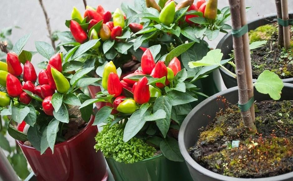 como plantar pimenta orgânica : como plantar hortaliças