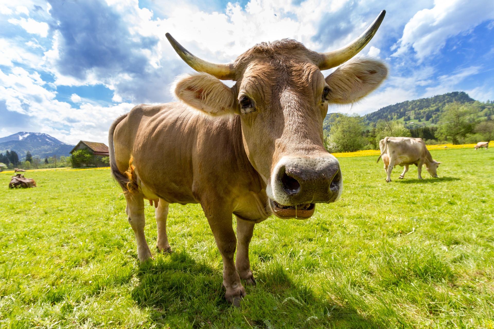 como curtir esterco de gado