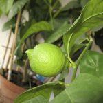 como plantar limão