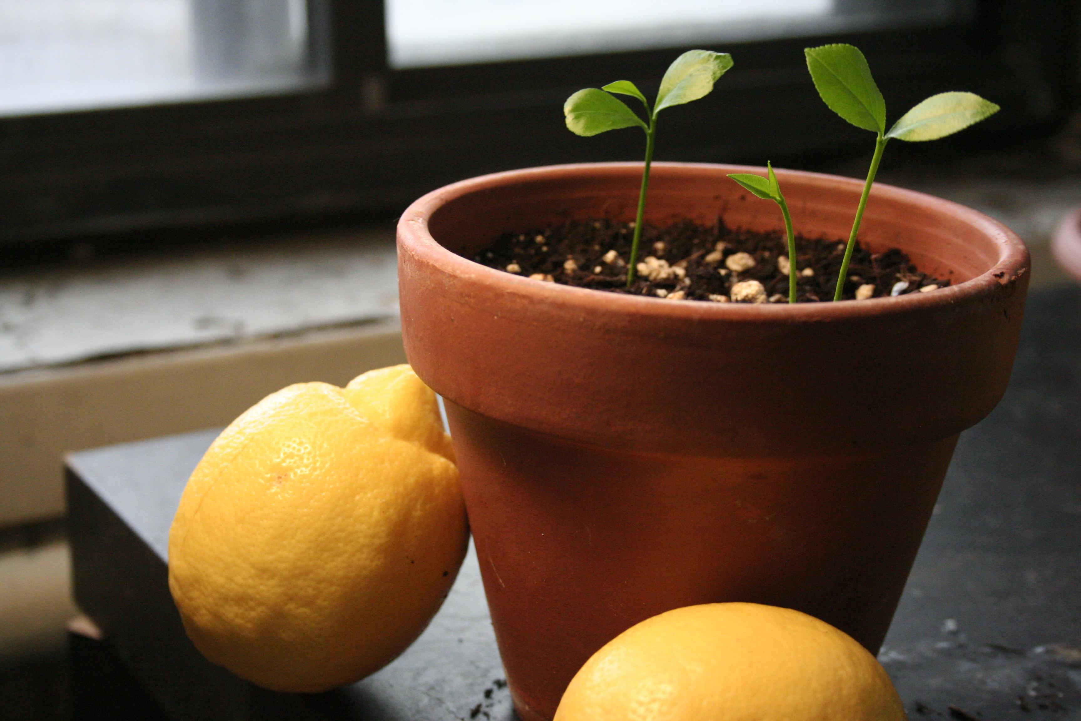 como plantar limão: limão galego