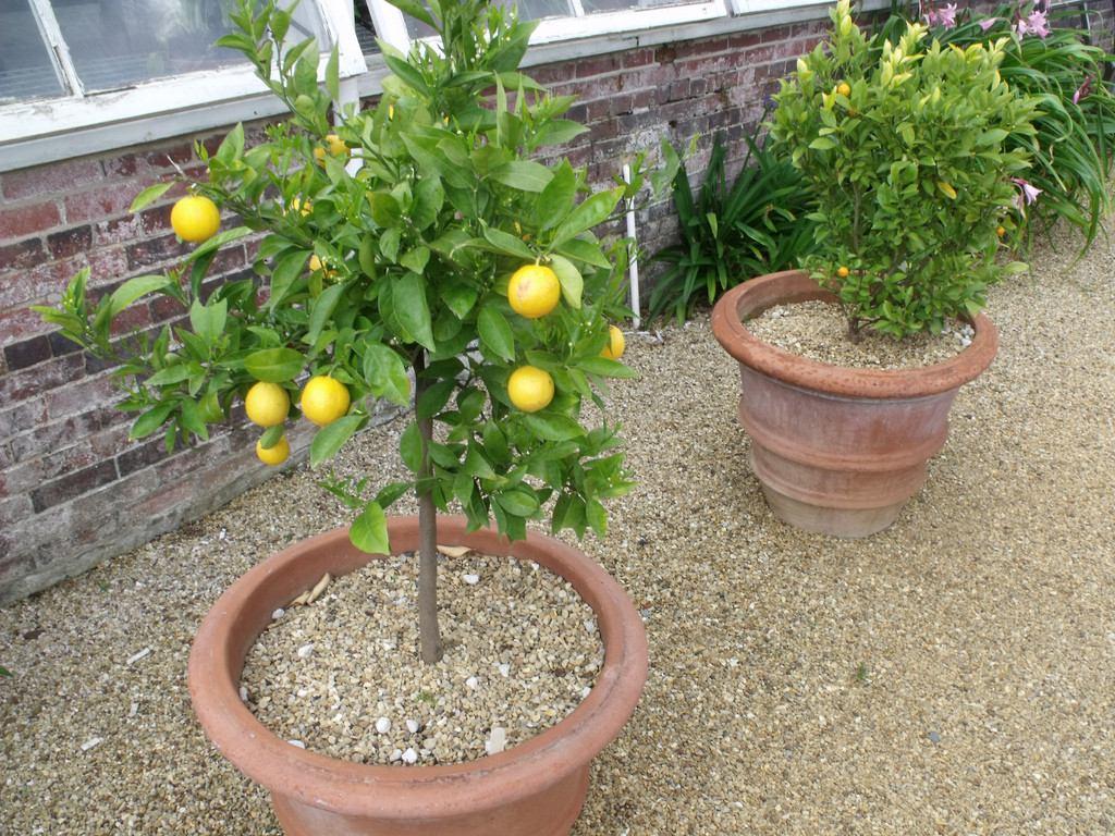 como plantar limão: muda de limão