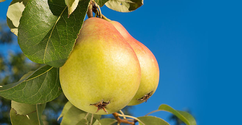 como plantar pera: pé de pera