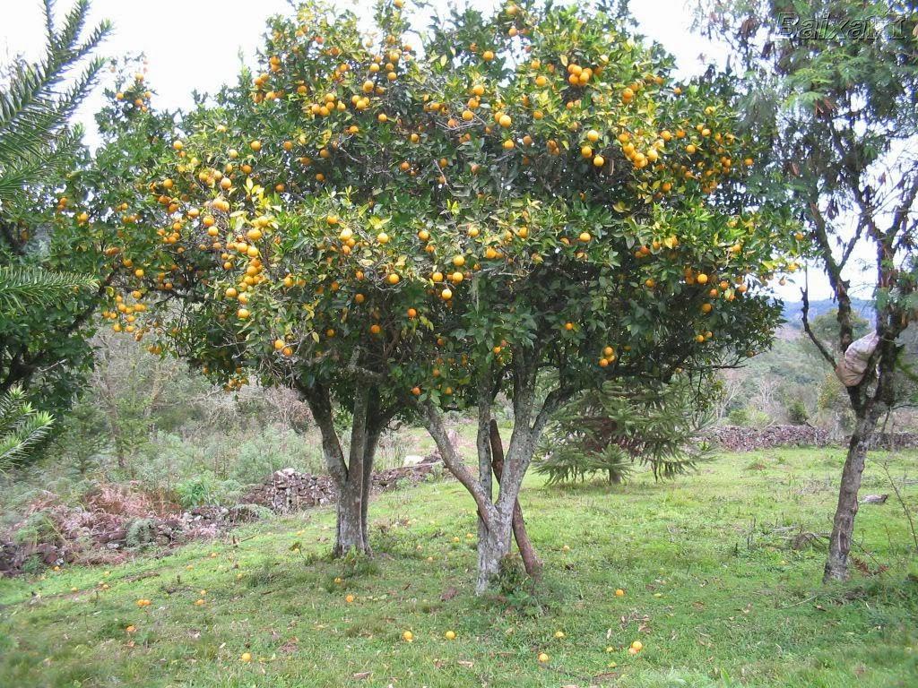 como plantar tangerina: tangerina ponkan